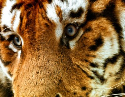 How to Use Photoshop to Edit Animals – Example: The Tigers of Ireland | Photoshop Tutorial